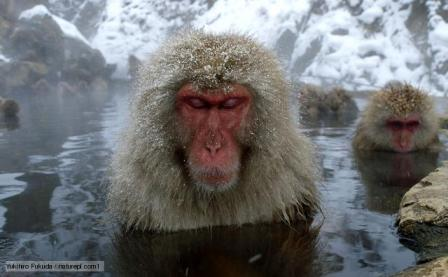 Female Japanese macaques (Macaca fuscata) in a hot spring to keep warm, only females and young bathe, Jigokudani, Joshinetsu Kogen NP, Nagano, Japan