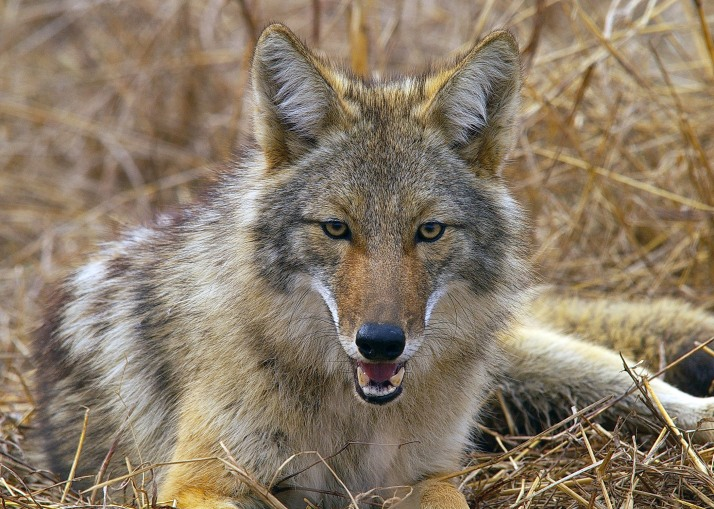 The coyote is an opportunistic hunter in both rural and urban areas. It looks like a medium-sized collie or German shepherd. (Photo courtesy of Eric Wengert)